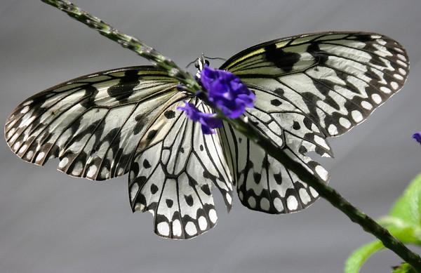 Butterflies at the Berkshire Museum 052814