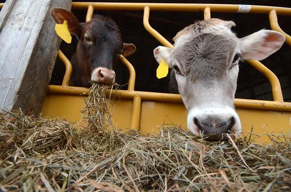 Cricket Creek Farm calves eat hay-042715