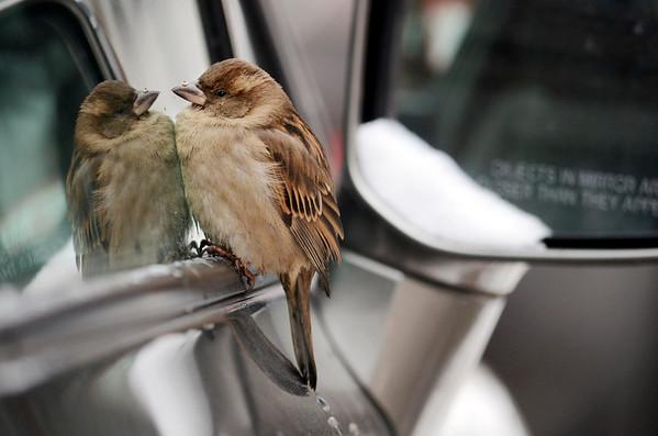 English Sparrow 012714
