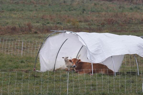 Lanesborough Cow with Sheep-110614