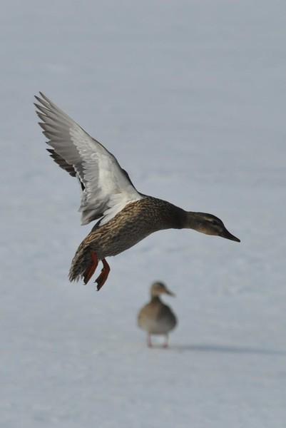 Mallard Ducks at Cheshire Lake-031715