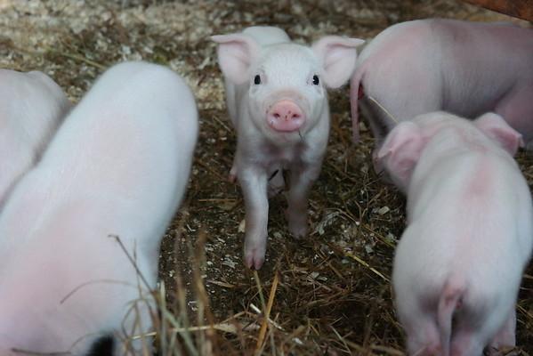 Piglets at Hancock Shaker Village 031615