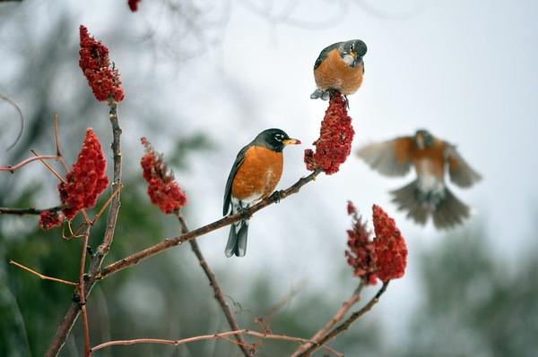 Robins on Staghorn Sumac-032014