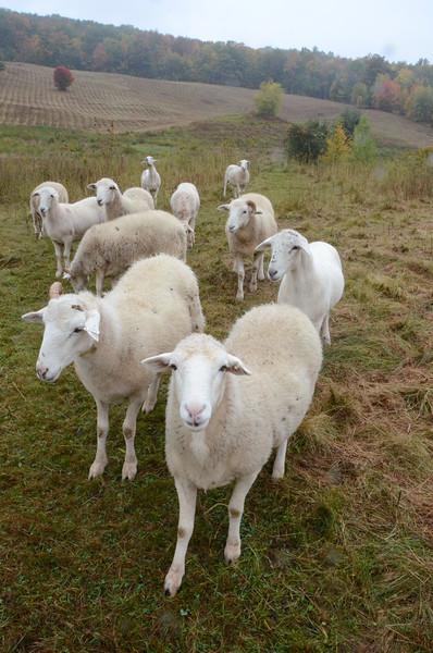 Sheep at Sheep Hill-100114
