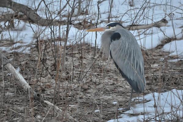 Wildlife in Berkshire County-032215
