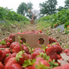 Globe/Roger Nomer<br /> Mike Anger, Pierce City, picks up a flat of strawberries while picking at Brown's Berry Farm on Friday morning.
