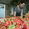 Globe/Roger Nomer<br /> Carrie Hunt writes up a ticket for strawberries at Brown's Berry Farm on Friday.