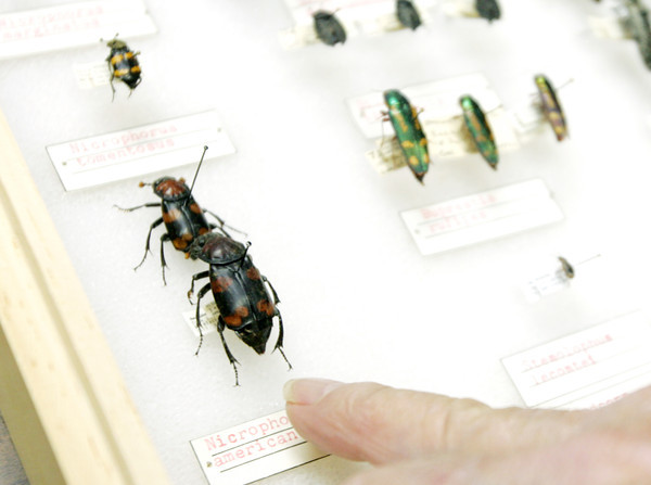 Globe/Roger Nomer<br /> Raye Letsinger points out an American Burying Beetle in his collection, the last one collected in Missouri.