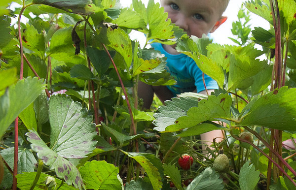 SAM HOUSEHOLDER | THE GOSHEN NEWS<br /> Roger Hickman, 2, of Goshen, reaches for a strawberry at Yoder's U-Pick Strawberry Patch on 15th Street in Goshen Thursday. The break from the storms during the day Thursday made for a good day to get outside and pick fruit or any other outdoor activities.