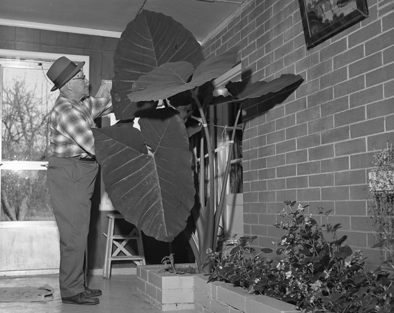 THE GOSHEN NEWS PHOTO  BACK WHEN Nov. 17, 1970<br /> Valentine Schrock, Route 3, Goshen, has grown elephant plants before but never one like this. Mr. and Mrs. Schrock brought the root back from Florida last spring and planted it in the breezeway of their homke west of Goshen. It started growing in June and grew and grew...and grew. Each leaf is about 36 inches long and 28 inches wide. Schrock plans to cut off the plant before he and his wife leave to spend the winter in Sarasota and the root will be planted again next spring.
