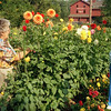 THE GOSHEN NEWS PHOTO  Back When Sept. 21, 1994<br /> Carolyn Albrecht, left and Frances Van Kirk examine dahlias in the American Dahlia Society's new trial garden in Bonneyville Mills County Park. The garden, established this year and sponsored by the Elkhart Dahlia Society, is available for new varieties of the flowers to be tested. Dahlias of all varities will be on display this weekend at Pierre Moran Mall during the 61st Annual Midwest Conference and Dahlia Show. Judging will take place Saturday morning; the public may view the flowers from noon to 9 p.m. Saturday and noon to 5 p.m. Sunday.