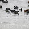Fidler Pond birds