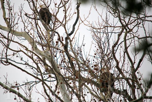 Fidler Pond Eagles