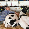 SAM HOUSEHOLDER | THE GOSHEN NEWS<br /> Dylan Tom, 10, lays with his calves, Duke, left and Big Boy. Tom finished third in the 384-pound category earlier Wednesday at the Kosciusko County Fair.