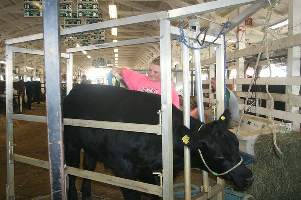SHERRY VAN ARSDALL | THE GOSHEN NEWS<br /> Brianna Ervin of Napanee, preps her 1,130 pound steer for showing Monday at the Elkhart County 4-H Fair. She is an 8-year member of the 4-H Beef Club.