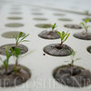 JAY YOUNG | THE GOSHEN NEWS<br /> Spinach seedlings grow in an aquaponics system inside the science lab at Millersburg Elementary.