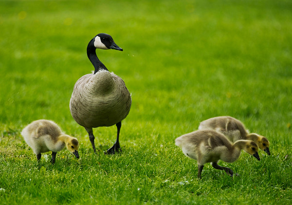 JAY YOUNG | THE GOSHEN NEWS<br /> A mother goose keeps a close watch over her young goslings as they forage through the grass at Shanklin Park near the Elkhart River public access point Monday afternoon.