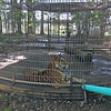 PETA Photo<br /> The People for the Ethical Treatment of Animals says this photo shows a tiger in its cage at Maple Lane Wildlife Farm in Topeka, Indiana. PETA has filed two complaints against the zoo.