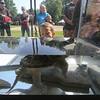 Roger Schneider | The Goshen News<br /> A boy looks into an aquarium holding a young snapping turtle during the Middlebury Riverfest Saturday morning.