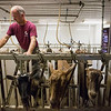 JAY YOUNG | THE GOSHEN NEWS<br /> Tim Clark directs his goats into their stalls so he can begin milking them Wednesday morning.