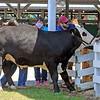 "Roger Schneider | The Goshen News<br /> This steer, ""Remington,"" did not want to enter the weigh-in gate at the LaGrange County 4-H Fair Saturday morning so it got a push and a pull from Brandon Howe, of LaGrange at left, Jayson Rainsberger, LaGrange, center, and Anthony Bontrager, Shipshewana."