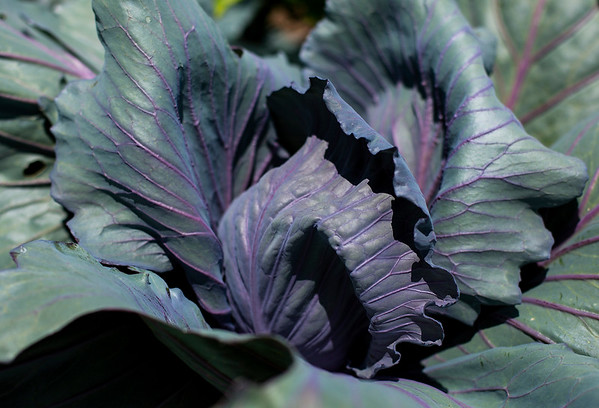 JAY YOUNG   THE GOSHEN NEWS<br /> Cabbage is just one of the dozens of varieties of vegetables that are grown at Red Oak Farm in Elkhart.
