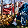 JAY YOUNG | THE GOSHEN NEWS<br /> Goshen resident John Nafziger offers his chickens some feed, but they are more interested in the green grass in the backyard of his home Wednesday, March 22, 2017. Nafziger has raised chickens at his home since 2014, when the city of Goshen passed an ordinance allowing residents to raise chickens within the city limits.