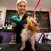 JAY YOUNG | THE GOSHEN NEWS<br /> Buffy, an eight-month-old Yorkshire Terrier, shakes while Maria Latisnere  blow dries the dog's hair Wednesday at Happy Tails in Goshen. Latisnere, who owns Buffy, is the owner of the pet grooming salon. Thursday is National Puppy Day.