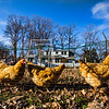 JAY YOUNG | THE GOSHEN NEWS<br /> Chickens walk through a chicken-wire tunnel that spans the perimeter of John and Lois Nafziger's garden at their home Wednesday, March 22, 2017. The Nafzigers have raised chickens at his home since 2014, when the city of Goshen passed an ordinance allowing residents to raise chickens within the city limits. The tunnel allows the chickens to act as natural weed-eaters by eating grass and weeds that grow around the garden, preventing the unwanted foliage from growing inside the garden.