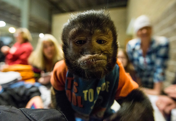 JAY YOUNG | THE GOSHEN NEWS<br /> Jessie, an eight-year-old Capuchin monkey that rides on motorcycles, was on display at the Abate of Indiana's 32nd annual Region One Elkhart County Swap Meet on Sunday morning at the Northern Indiana Event Center in Elkhart.