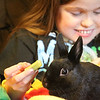 TERRAH  HARMON | THE GOSHEN NEWS<br /> Bernie the rabbit is enticed to sit still by Anna Yutzy, 10, with a piece of celery. The rabbit sold for $10,000 during auction at the Elkhart County 4-H Fair.