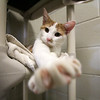 GEOFF LESAR | THE GOSHEN NEWS<br /> <br /> Quiggles the cat extends a paw Tuesday morning at the Humane Society of Elkhart County. The shelter has taken in 70 animals due to flooding since Feb. 20, and 352 total during February as of Tuesday.
