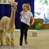 BEN MIKESELL | THE GOSHEN NEWS<br /> Libby Rayle of Avilla, 10, navigates an obstacle course with her alpaca, Miss Latte, during the Alpaca Showmanship and Obstacle Show Wednesday morning at the Noble County Fairgrounds in Kendallville. Rayle competed with other first-time Alpaca Club members in the beginner class, while others competed in the intermediate and senior classes. Judge Megan Gingerich of New Paris focused on how well exhibitors maintained eye contact and poise while controlling their alpacas during the show.
