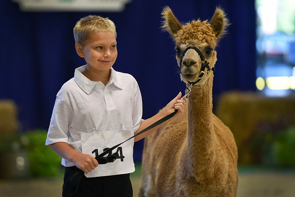 BEN MIKESELL | THE GOSHEN NEWS<br /> Alexander Laymon, 10, of Avilla, walks with his alpaca Ariel during Wednesday morning's Alpaca Showmanship and Obstacle Show at the Noble County Fairgrounds in Kendallville.