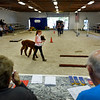 BEN MIKESELL | THE GOSHEN NEWS<br /> Ava Green, 10, of Kimmell, walks with her alpaca, Boyd, through the obstacle course while scorekeepers look on during the Alpaca Showmanship and Obstacle Show Wednesday morning at the Noble County Fairgrounds in Kendallville. Green and Boyd won first place awards in both the showmanship and obstacle portions of the competition.