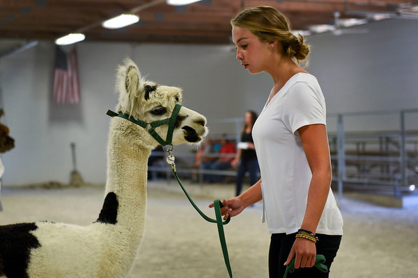 BEN MIKESELL | THE GOSHEN NEWS<br /> Senior exhibitor Hannah Henning, 17, of Kendallville, sets up her alpaca during the Alpaca Showmanship and Obstacle Show Wednesday morning at the Noble County Fairgrounds in Kendallville.