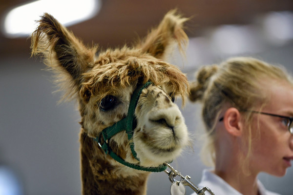 BEN MIKESELL | THE GOSHEN NEWS<br /> Izzy Hurr, 13, of Avilla, stands with her alpaca, Sundance, waiting for final results of the Alpaca Showmanship and Obstacle Show Wednesday morning at the Noble County Fairgrounds in Kendallville.