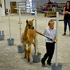 BEN MIKESELL | THE GOSHEN NEWS<br /> Alexander Laymon, 10, of Avilla, walks with his alpaca, Ariel, through the obstacle course during Wednesday morning's Alpaca Showmanship and Obstacle Show at the Noble County Fairgrounds in Kendallville.
