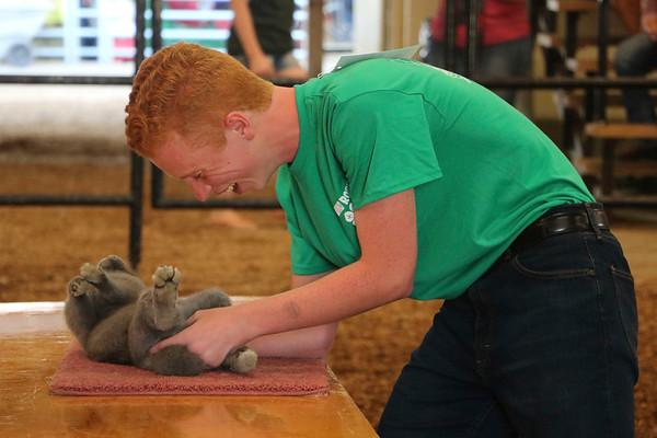 LIZ RIETH | THE GOSHEN NEWS Logan Ott, 17, a champion from llama club, shows a rabbit at the Round Robin Showmanship Contest Thursday.