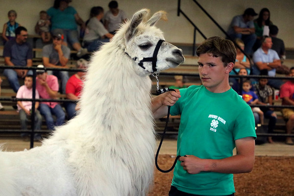 LIZ RIETH | THE GOSHEN NEWS Alex Walker, 14, a champion from cat club, shows a llama at the Round Robin Showmanship Contest Thursday.