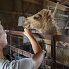 BEN MIKESELL | THE GOSHEN NEWS<br /> Jericho is a 6-month old camel the Blakeslees got at the beginning of the year. His mother, Desi, is the farm's main source of milk.