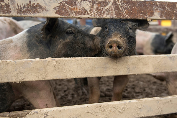 BEN MIKESELL | THE GOSHEN NEWS<br /> Pigs wait to be released for Thursday night's pig wrestling event at the Kosciusko County Fair in Warsaw. The event, a first-ever for the fair, emphasized pig safety. Participants were disqualified if they were caught grabbing pigs by the ears, tails or feet during the 45-second bout.