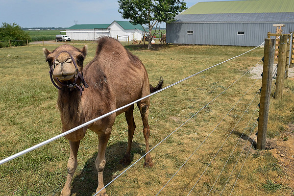 BEN MIKESELL   THE GOSHEN NEWS<br /> Luke and Amber Blakeslee's camel, Ginger, walks around their camel farm in Thursday afternoon in Milford. The Blakeslees have five camels on the farm, and currently use one for milk.