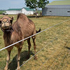 BEN MIKESELL | THE GOSHEN NEWS<br /> Luke and Amber Blakeslee's camel, Ginger, walks around their camel farm in Thursday afternoon in Milford. The Blakeslees have five camels on the farm, and currently use one for milk.