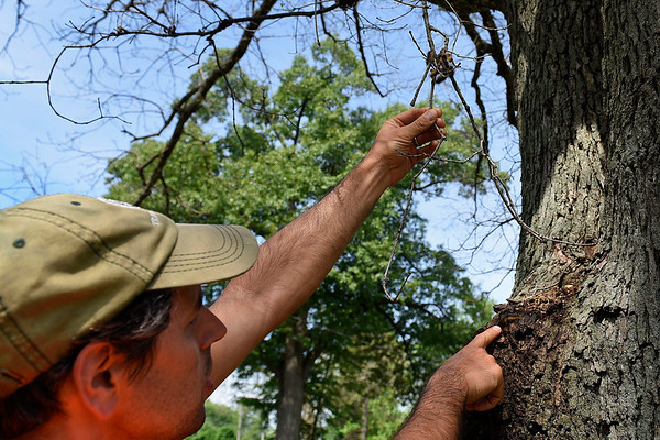 BEN MIKESELL | THE GOSHEN NEWS<br /> Goshen city forester Aaron Sawatzky Kingsley examines a grouping of gypsy moth caterpillars on a branch of a white oak tree Friday morning along Hackett Road in Goshen. The caterpillars have spread to two other trees along the road, and have to potential to spread to more trees.