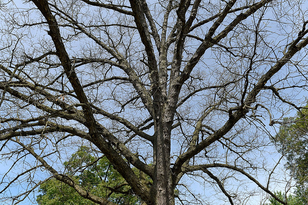 BEN MIKESELL | THE GOSHEN NEWS<br /> An oak tree on Hackett Road in Goshen stands bare Friday morning, which has been infested by gypsy moth caterpillars this summer.