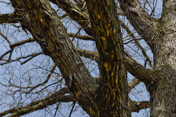 BEN MIKESELL | THE GOSHEN NEWS<br /> Empty egg masses belonging to gypsy moth caterpillars are seen on the under side of oak tree branches Friday morning along Hackett Road in Goshen.