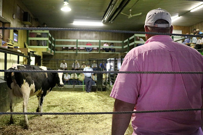 LIZ RIETH | THE GOSHEN NEWS Rick Walsh, owner of Topeka Livestock Auction, herds a cow at the weekly auction Tuesday.