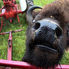 LIZ RIETH | THE GOSHEN NEWS A bison hopes for treats at Cook's Bison Ranch Wednesday in Wolcottville.