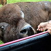 LIZ RIETH | THE GOSHEN NEWS <br /> Erica Cook, co-owner of Cook's Bison Ranch, feeds bison during a tour Wednesday in Wolcottville.
